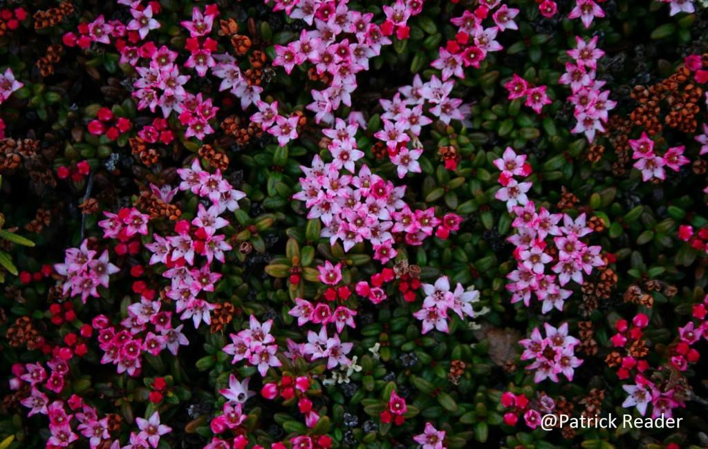 Fleur arctique