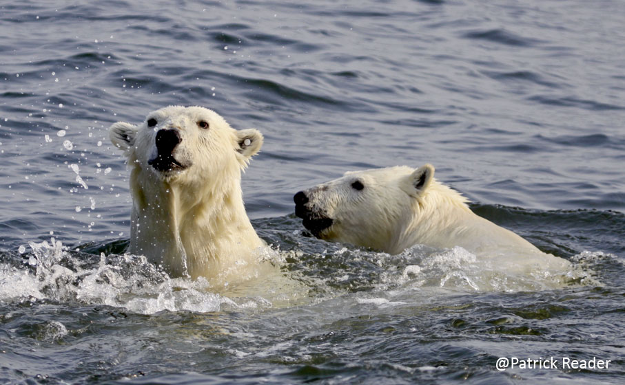 two polar bearslow