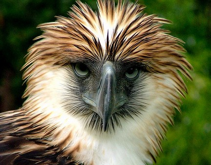 Let's support the beautiful Philippine eagle critically endangered!