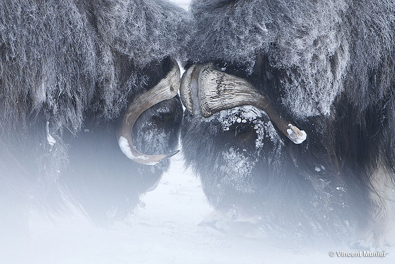 Top Stunning wildlife Arctic pictures by Vincent Munier… | Arctic05 QM12