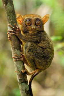 Let's protect the Philippines Tarsier!