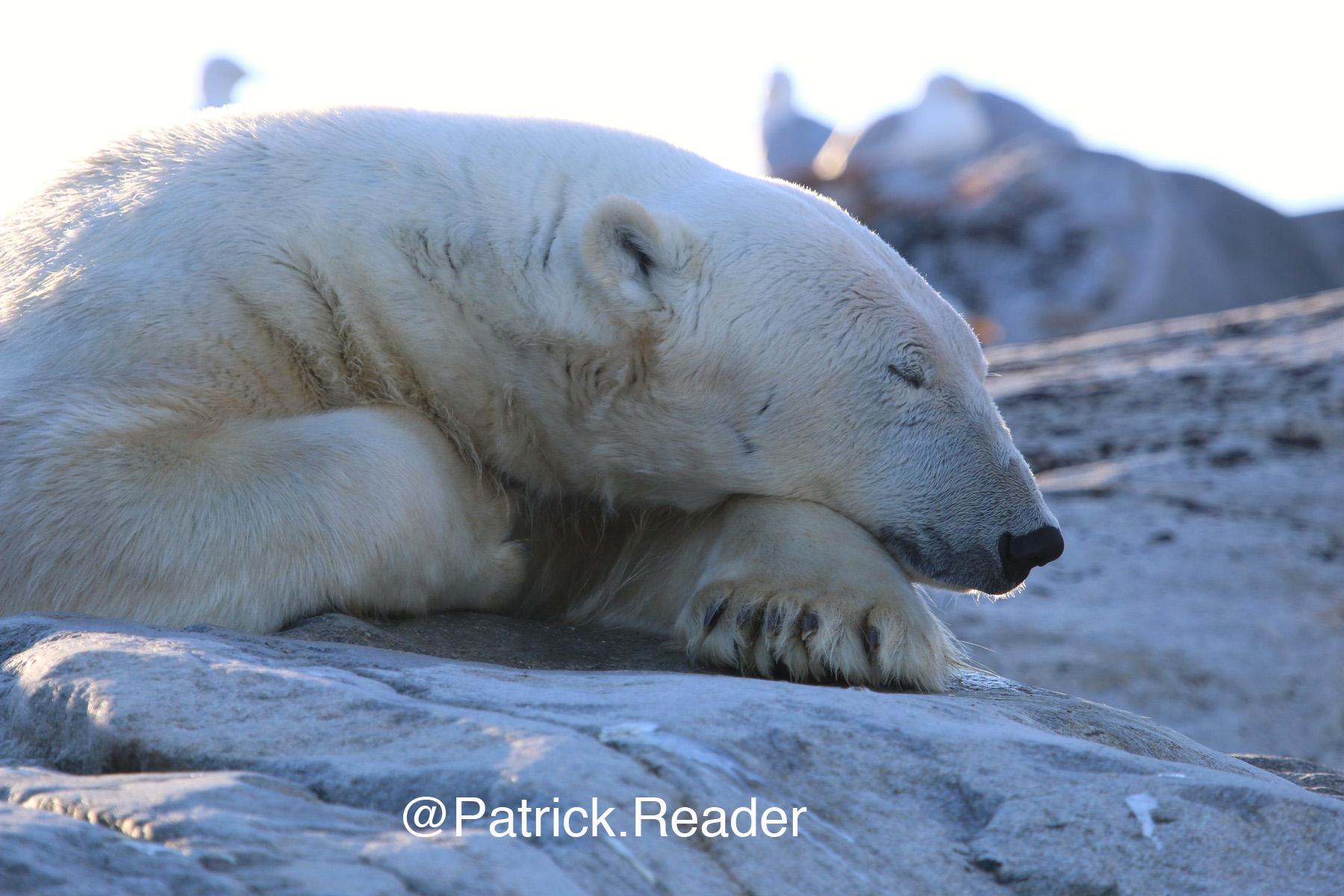 Polar bear (2) - Polar bear - arctic bear - white bear - ours polaire - ours blanc - The arctic - l'Arctique