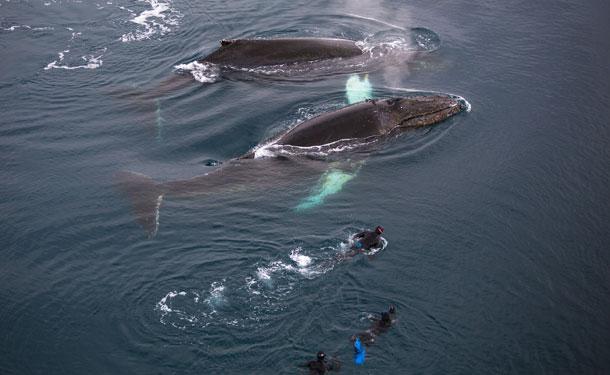 antarctique danse avec les baleines