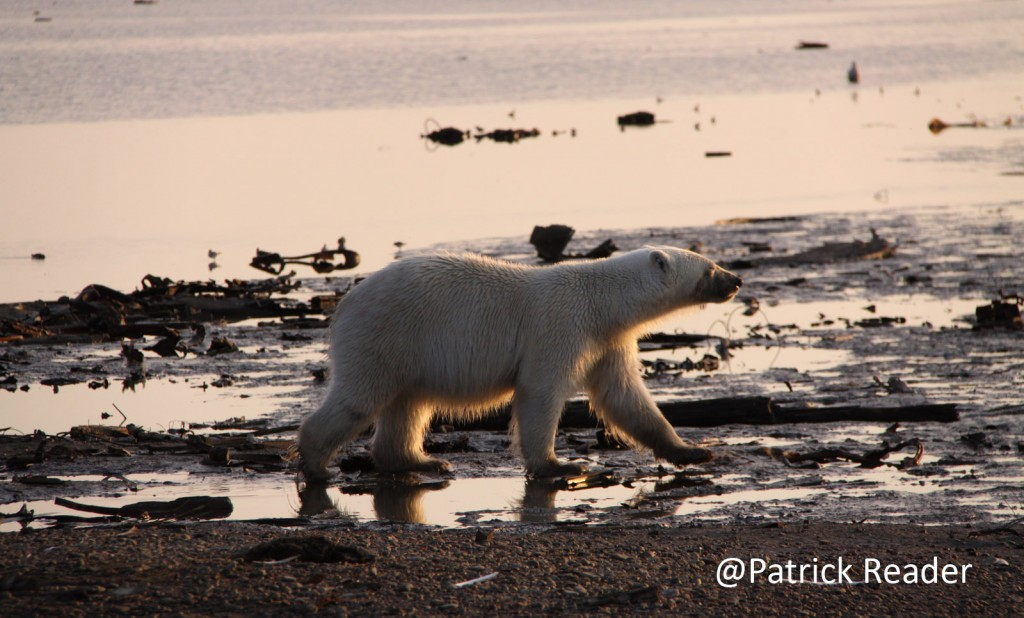 polar bear, arctic ocean, patrick reader photography, ours blanc, polar bear day, iceberg, climate change, arctic oil exploration, arctic 4 ever, we love the arctic, bears, arctic wildlife, arctic animals, the arctic, le grand nord, pôle nord