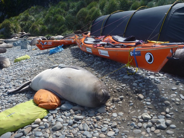 photo: SG2010, SG2010, kayak, south georgia island, seal & kayak, seal visitor, elephant seal, norwegian kayakers