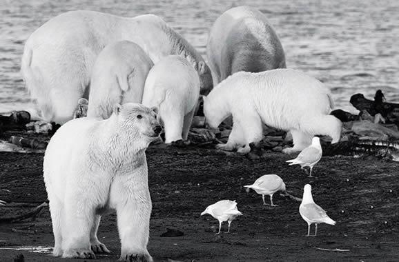 les ours polaires de Kaktovik, île aux ours, arctic05 news, Fanny M., ours polaires, expo sur les ours, photographie d'ours, barter island, les inuits, baleine, polar bears, the arctic, arctic bear, images d'ours, le roi de l'arctique, faune polaire