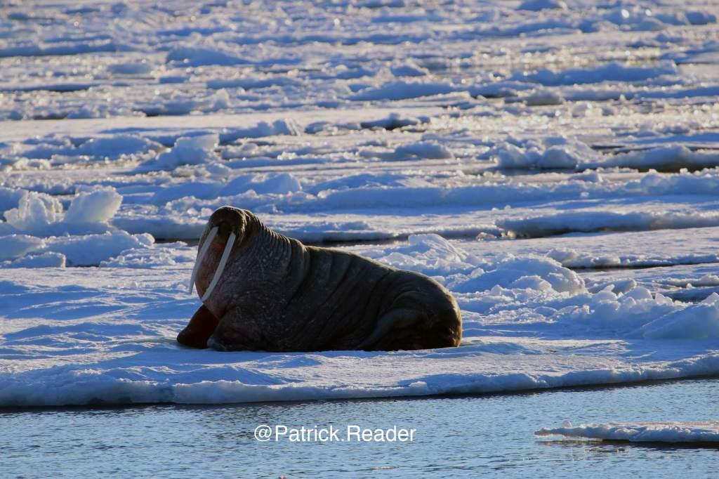 patrick reader photography, svalbard, spitzbergen, spistberg, picture walrus, svalbard walrus, morse, ours, polar bear, pack-ice, banquise du svalbard, banquise de l'océan arctique, arctic ocean pack-ice, morse sur glace