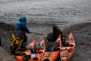 photo: SG2010, SG2010,south georgia, sea kayak, kayak protection, elephant seal, kayaking south georgia - copie