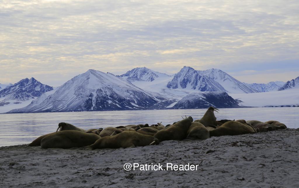 spitzbergen walrus, svalbard wildlife, walrus, patrick reader photography, arctic05, arctic 05, walrus observation, arctic ocean, walruses, morses, walrus attack, attaque de morse, kayak, walrus documentary, pack-ice, ours polaire, polar bear