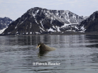 svalbard walrus, spitzbergen wildlife, walrus, patrick reader photography, arctic05, arctic 05, walrus observation, arctic ocean, walruses, morses, walrus attack, attaque de morse, kayak, walrus documentary, pack-ice, ours polaire, polar bear