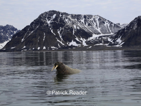 Know more about walruses & Spistbergen!