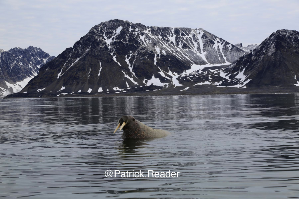 Friendly & curious walrus in Svalbard - Spitzbergen!