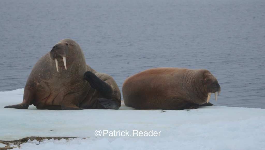 svalbard walrus, walrus, patrick reader photography, arctic05, arctic 05, walrus observation, arctic ocean, walruses, morses, walrus attack, attaque de morse, kayak, walrus documentary, pack-ice, ours polaire, polar bear, save the arctic