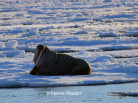 walrus, patrick reader photography, arctic05, arctic 05, walrus observation, arctic ocean, walruses, morses, walrus attack, attaque de morse, kayak, walrus documentary, pack-ice, ours polaire, polar bear, svlabard, spizbergen