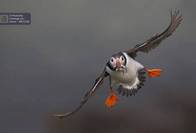 Alamy, http-::www.alamy.com:, puffin, bird photographer of the year, photo competition, ornithology