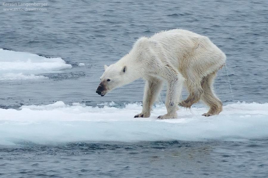 Kerstin Langenberger, Photo by Kerstin Langenberger, Arctic Dreams, Svalbard, Polar bear, ours polaire, www.arctic-dreams.com, arctic05 news, starving polar bear, arctic pictures, climate change