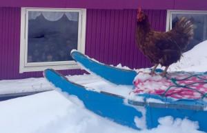 Une poule hiverne en Arctique!