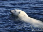 Polar bear, ours polaire, arctic news, patrick reader wildlife photographer, arctic05, climate change, le climat, banquise, north pole, melting ice, solutions for the arctic