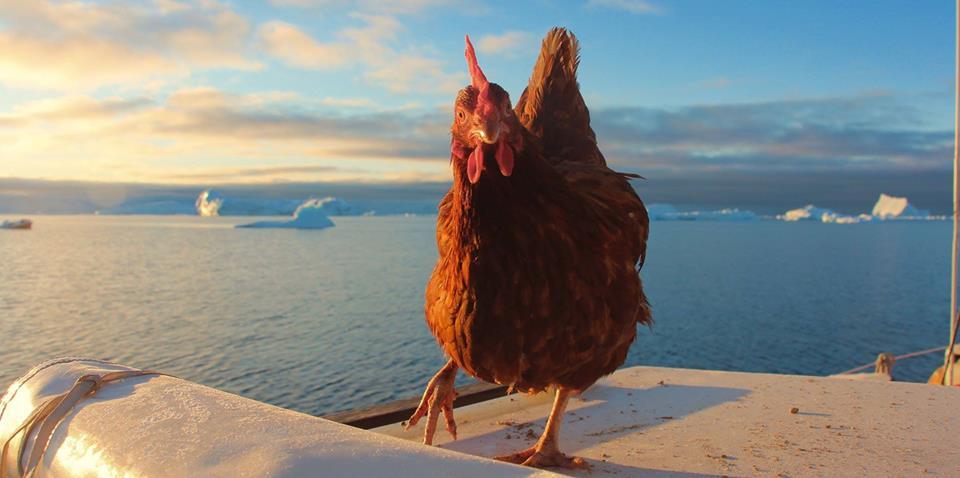 Le voyage d'Yvinec, une poule en Arctic, Guirec et Monique au Groenland, Arctic05, expédition polaire à la voile, voile en arctique, coq et poule, icerberg, au bout de vos rêves