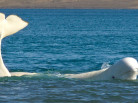 Nansen Weber photography, Arctic animals, Beluga, Beluga video, Arctic wildlife, Arctic05, save the arctic, arctic4ever, climate change, somerset island, nunavut, northwest passage