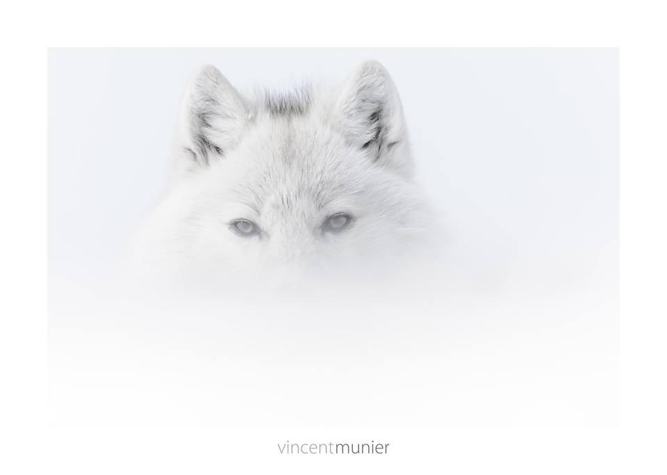 Vincent Munier photographer, loup polaire, livre polaire arctique, grand nord, loup blanc, photographie et art, arctic05, les merveilles de l'arctique, the arctic, book