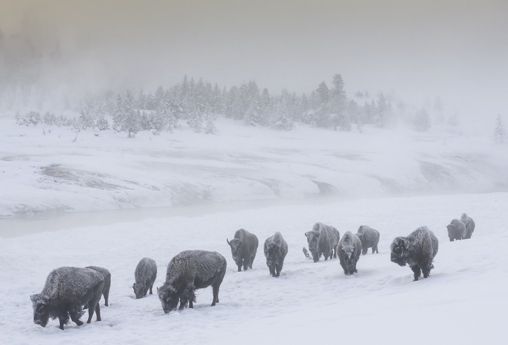 Michel Rawicki, USA -Wyoming-Yellowstone-Bison, arctic photographer, Jardin du Luxembourg, Paris