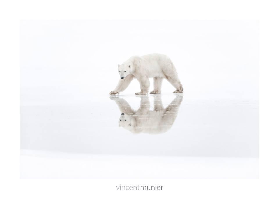 Vincent-Munier-grand-nord-livre-polaire-ARCTIQUE-arctic05-faune-et-flore-polaire-france - photographe animalier - arctic pictures, ice bear