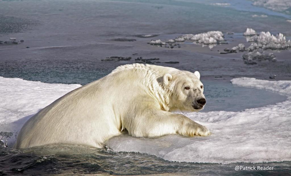 polar bears in danger, patrick reader photography, arctic05, snow & ice data center, arctic sea ice, climate change, ours polaire en danger, banquise, océan arctique, satellite, video des glaces