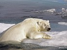 polar bears in danger, patrick reader photography, arctic05, snow & ice data center, arctic sea ice, climate change, ours polaire en danger, banquise, océan arctique, satellite, video des glaces