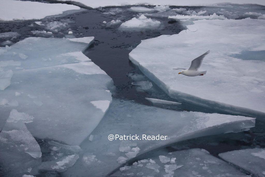 Glaucous gull, goéland bourgmestre, Patrick Reader Wildlife Photographer, banquise, pack ice, Arctic ocean, Arctic05, birds, oiseaux, océan arctique, Svalbard, Spitsbergen, glace