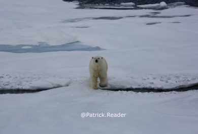 Polar bear, ours blanc, Patrick Reader Wildlife Photography, Svalbard, pack ice, banquise, images ours, spitsbergen, climate change