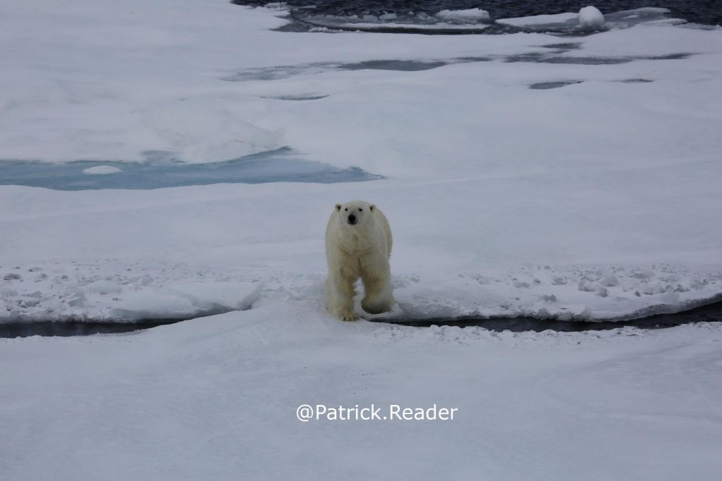 Patrick Reader, Polar-bear-ours-blanc-Wildlife-Photography-Svalbard-pack-ice-banquise-images-ours-spitsbergen-climate-change