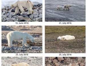Thin polar bears on northern Svalbard, Kerstin Langenberger Photography, climate change, skinny bear, svalbard, arctic05, spitsbergen, bear observation, science