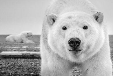 David Yarrow - 'Hello' (ALASKA, USA, 2015), polar bear, images ours polaire, leonhard's gallery, grand nord, arctic05, photography event, antwerpen, anvers, wildlife photographer