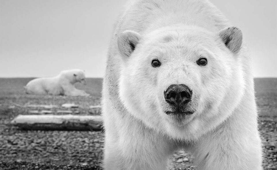 David Yarrow - 'Hello' (ALASKA, USA, 2015), polar bear, images ours polaire, leonhard's gallery, grand nord, arctic05, photography event, antwerpen, anvers, wildlife photographer