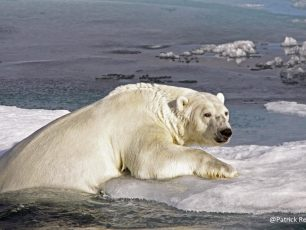 north pole, polar bear, climate change, heat wave, pack-ice, iceberg, arctic05, arctic news, dramatic, banquise, fonte des glaces, arctic wildlife, reindeer, rennes et climat, ours polaire