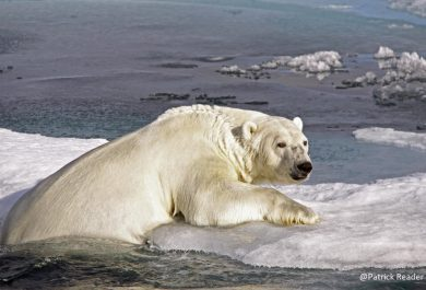 north pole, polar bear, climate change, heat wave, pack-ice, iceberg, arctic05, arctic news, dramatic, banquise, fonte des glaces, arctic wildlife, reindeer, rennes et climat, ours polaire
