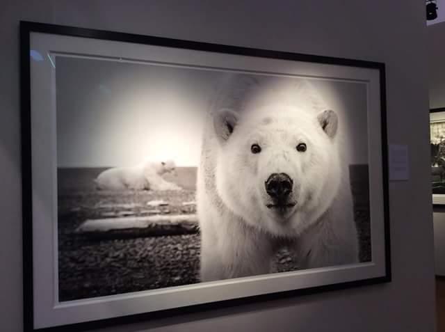 Eurantica Art Fair, Belgium, ours, photographie, ours blanc d'Alaska, Kaktovik, photo ours blanc, Arctic05, polar bear, Art