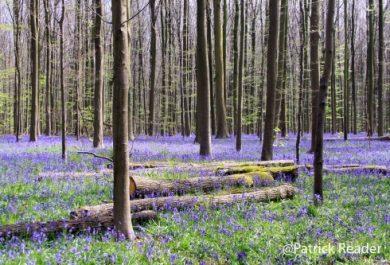 Patrick Reader Photography, The Blue Forest, jacinthes des bois, Bluebell flowers,  Made in Belgium, le bois de Halle, hyacinths, tapis de fleurs, Brussels, printemps, Welkom in het Hallerbos, jogging, randonnée,