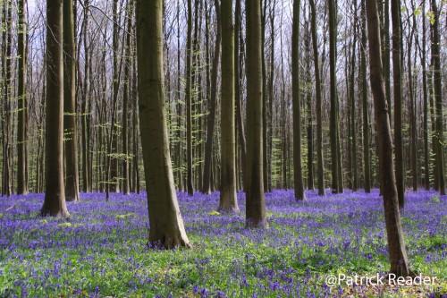 Patrick Reader Photography, flowers in Belgium, jacinthes des bois, the Blue Forest, Bluebell flowers, le bois de Halle, hyacinths, tapis de fleurs, printemps, randonnée, faune et flore, équitation