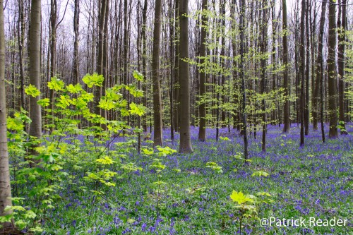 Patrick Reader Photography, jacinthes des bois, Bluebell flowers, Made in Belgium, le bois de Halle, hyacinths, tapis de fleurs, Brussels, printemps, Welkom in het Hallerbos, randonnée, The Blue Forest