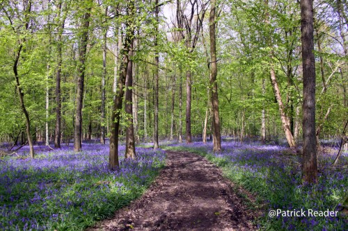 Patrick Reader Photography, jacinthes des bois, Bluebell flowers, le bois de Halle, hyacinths, tapis de fleurs, Brussels, printemps, Welkom in het Hallerbos, randonnée, The Blue Forest, hike, Made in Belgium