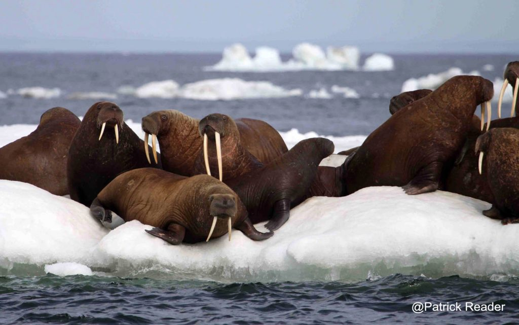Photo de morse, Walrus picture, Arctic animals, poisson d'avril, Arctic05, service secret, sous-marins, océan arctique, Alaska, agent de renseignements, les fonds marins, Patrick Reader photography, submarines
