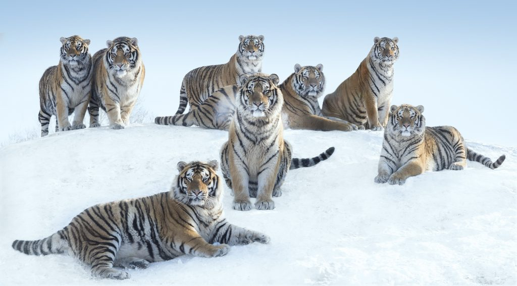 The Siberians © David Yarrow, Siberian tigers, North East China, photographie de David Yarrow, Eurantica Art Fair, Belgium, Arctic05, Tigres de Sibérie, image de tigres de Sibérie, Nord Est de la Chine