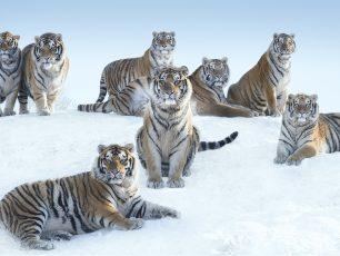 The Siberians © David Yarrow, Siberian tigers, North East China, photographie de David Yarrow, Eurantica Art Fair, Belgium, Arctic05, Tigres de Sibérie, image de tigres de Sibérie, Nord Est de la Chine
