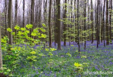 Patrick Reader Wildlife and Nature Photography, jacinthes des bois, Bluebell, flowers,le bois de Halle, hyacinths,tapis de fleurs, Brussels, printemps, Welkom in het Hallerbos, randonnée, The Blue Forest