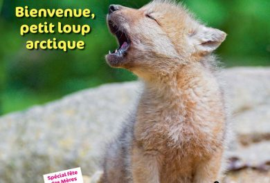 wakou, Loup arctique, meute, louveateau, Grand Nord canadien, Arctic05, île d'Ellesmere, arctic wolves, kids, les loups, magazine pour enfants, nature et animaux