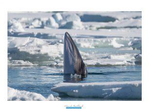 Frank Maillard Photography, photo rorqual, baleine, Arctic05, svalbard, photographie animalière, océan arctique, cétacé, Minke Whale photo, image rorqual, spitzbergen wildlife, mammifère marin