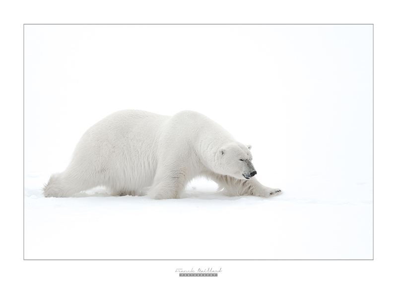 Image Ours polaire, Franck Maillard Photography, Arctic05, Svalbard, Polar bear, banquise, Photo d'ours, spitzbergen wildlife, white bear walking