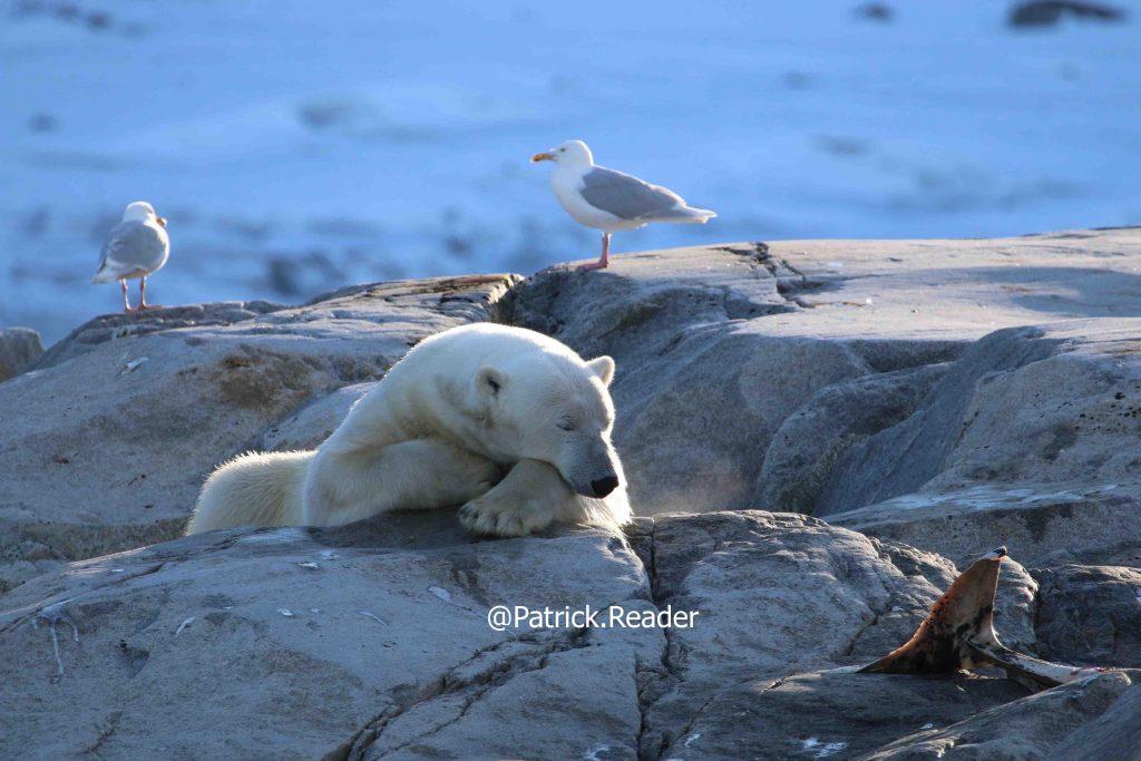 Image ours polaire, photo ours blanc, dauphin à bec blanc, Patrick Reader Photography, Arctic05, observation polaire, Svalbard, Arctique norvégien, les ours et la nourriture, banquise, réchauffement climatique